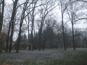 Field of Crocus